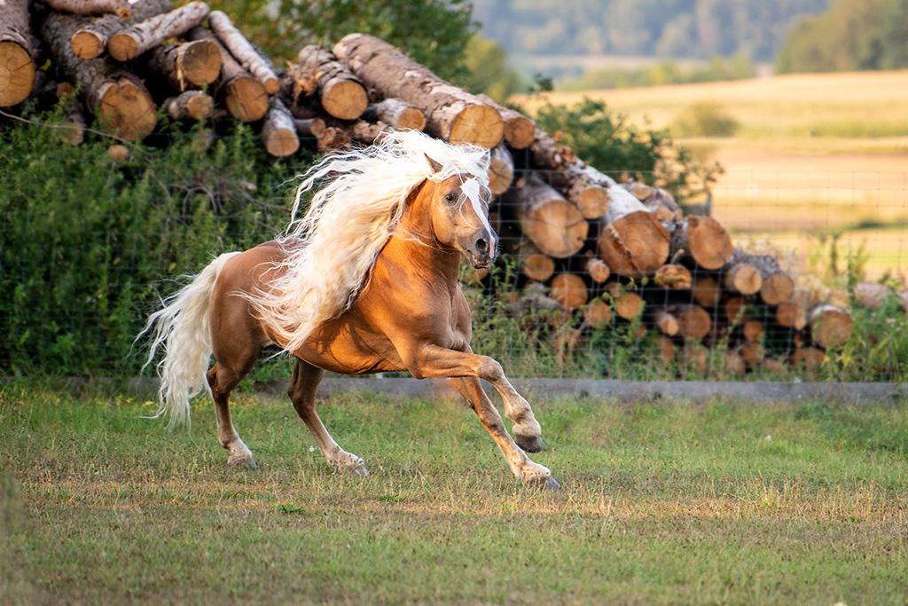 Haflinger Pferderasse